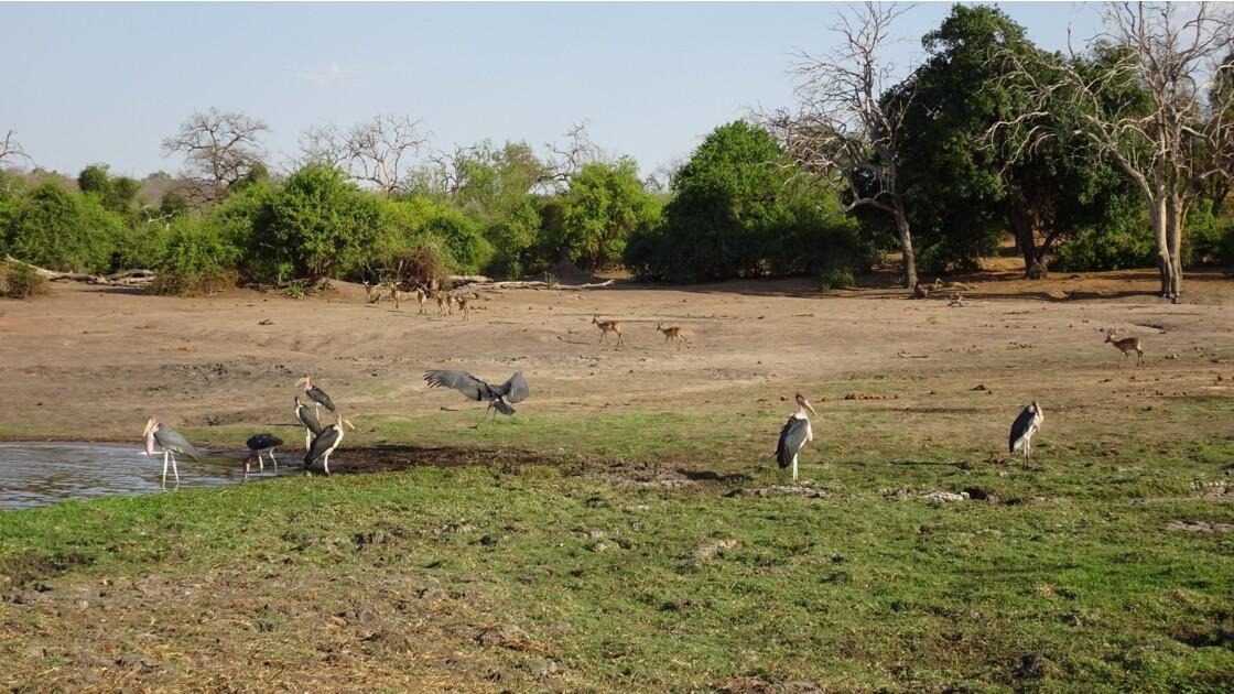 Botswana la vie sur le fleuve Chobe 4