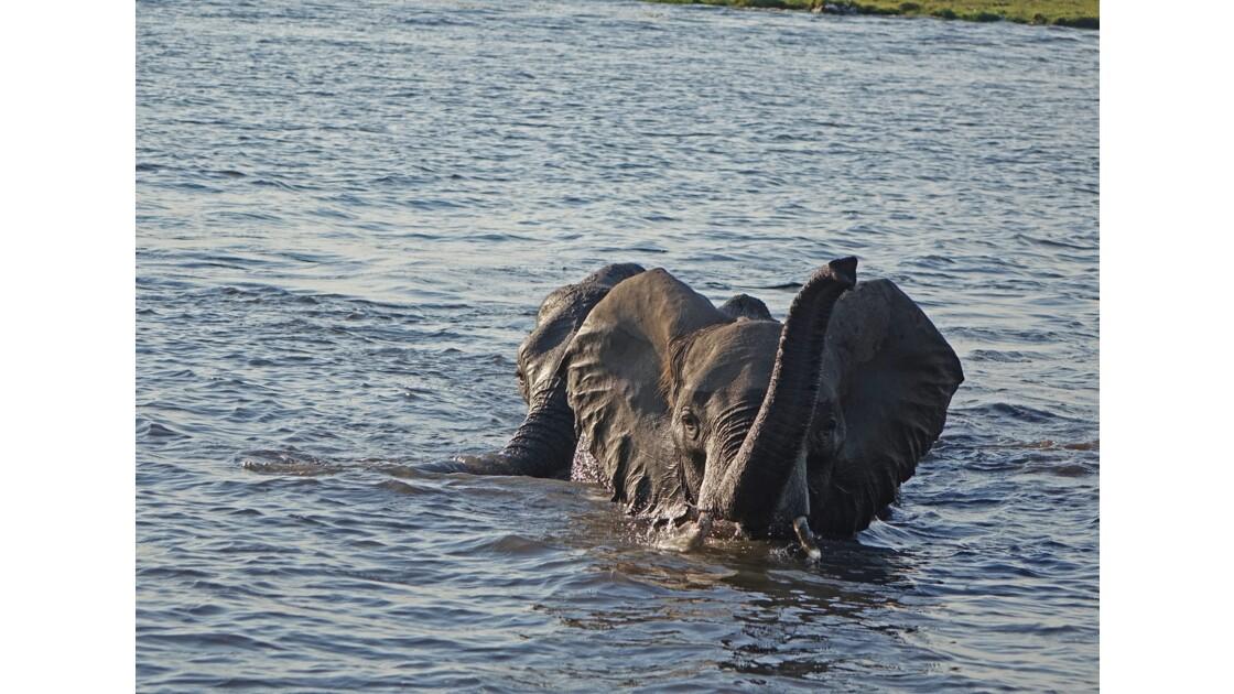Botswana Sur le fleuve Chobe Traversée périlleuse 1