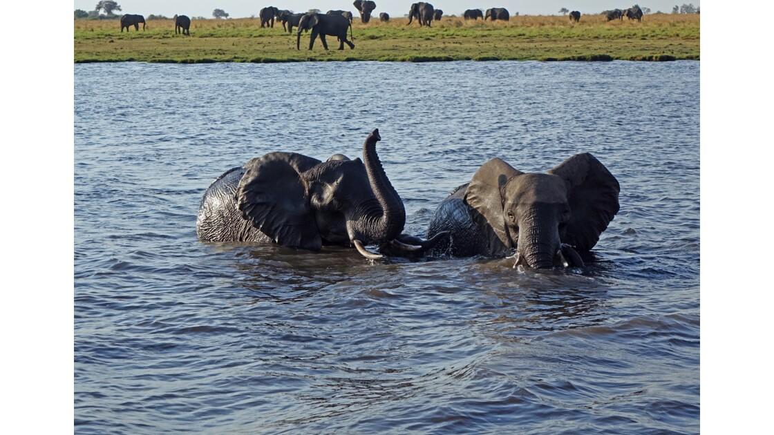 Botswana Sur le fleuve Chobe Traversée périlleuse 3