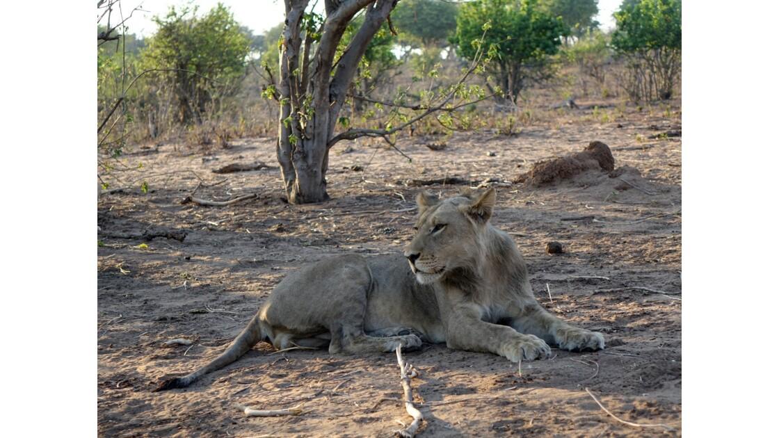 Botswana Chobe les lions du petit matin 5