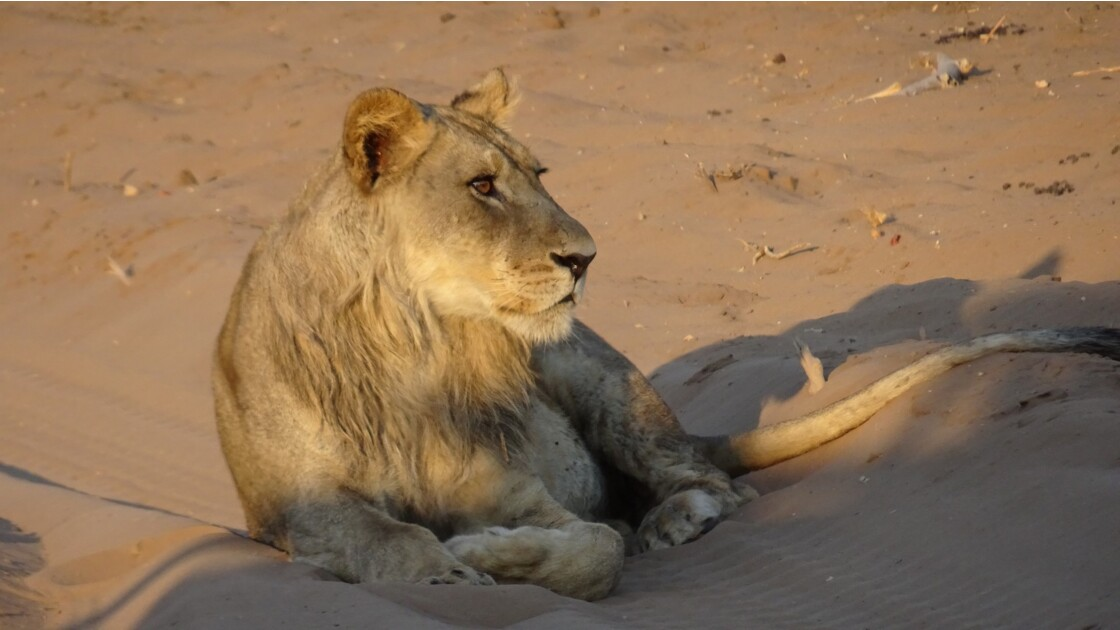 Botswana Chobe les lions du petit matin 6