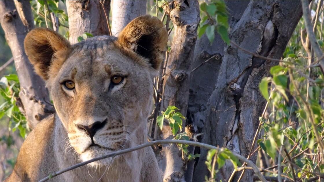 Botswana Chobe les lions du petit matin 7