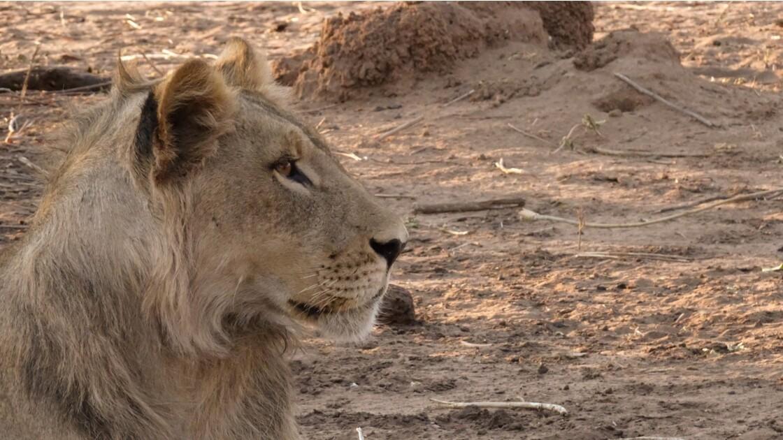 Botswana Chobe les lions du petit matin 8
