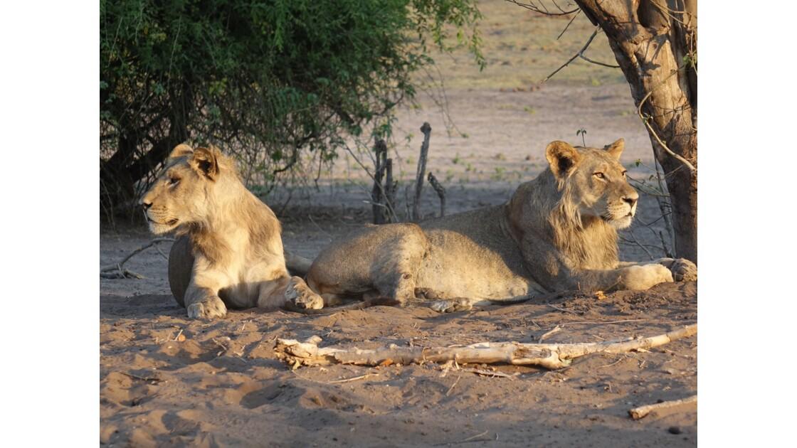 Botswana Chobe les lions du petit matin 1