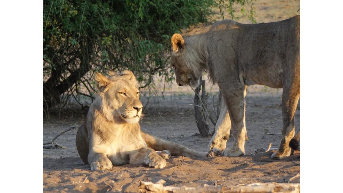 Botswana Chobe les lions du petit matin 2