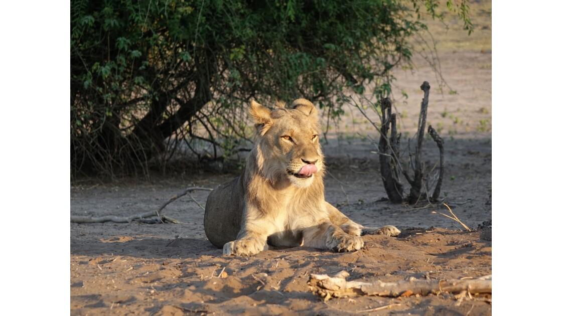 Botswana Chobe les lions du petit matin 3