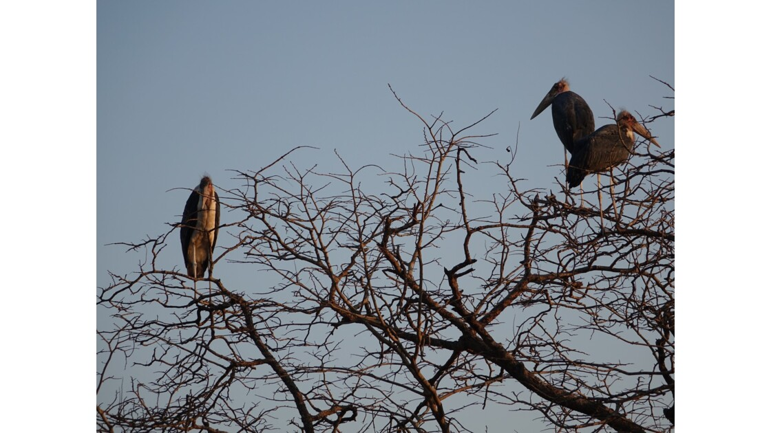 Botswana Chobe les marabouts au lever su soleil 2