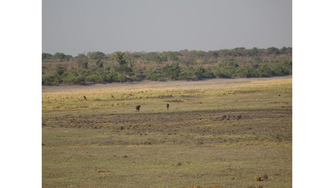 Botswana Chobe la balade des hyènes 1