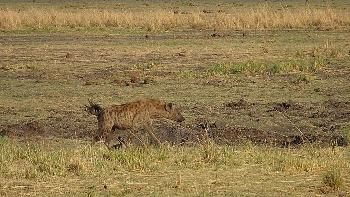 Botswana Chobe la balade des hyènes 3