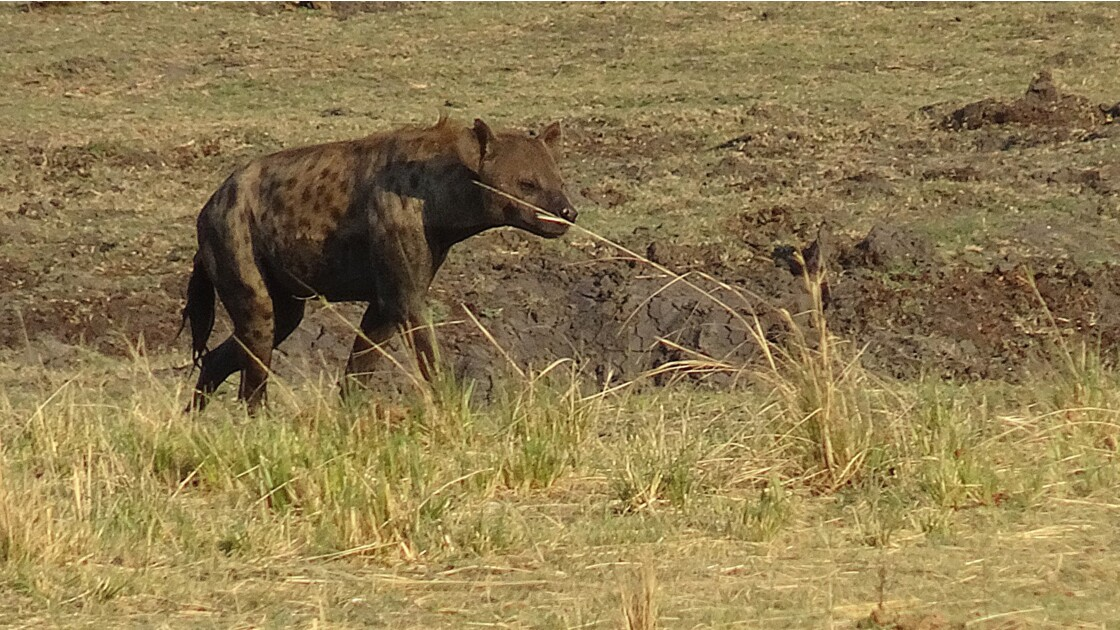 Botswana Chobe la balade des hyènes 4