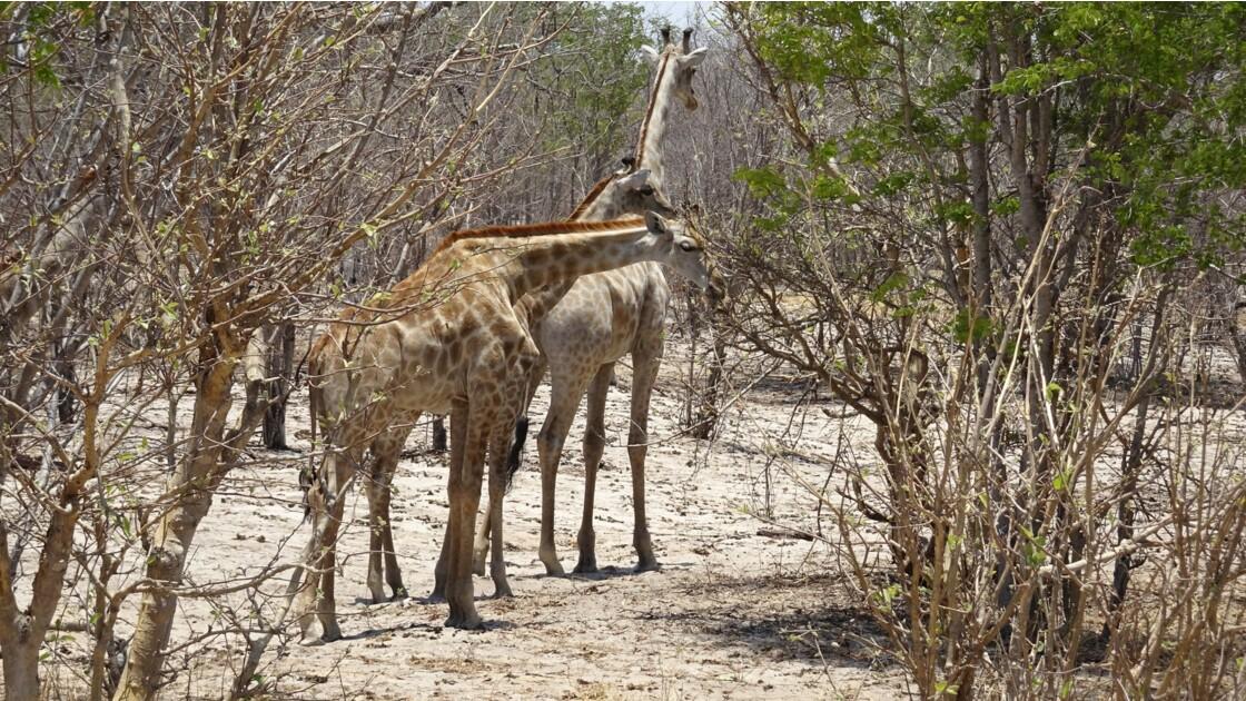 Botswana Chobe couple de girafes 1