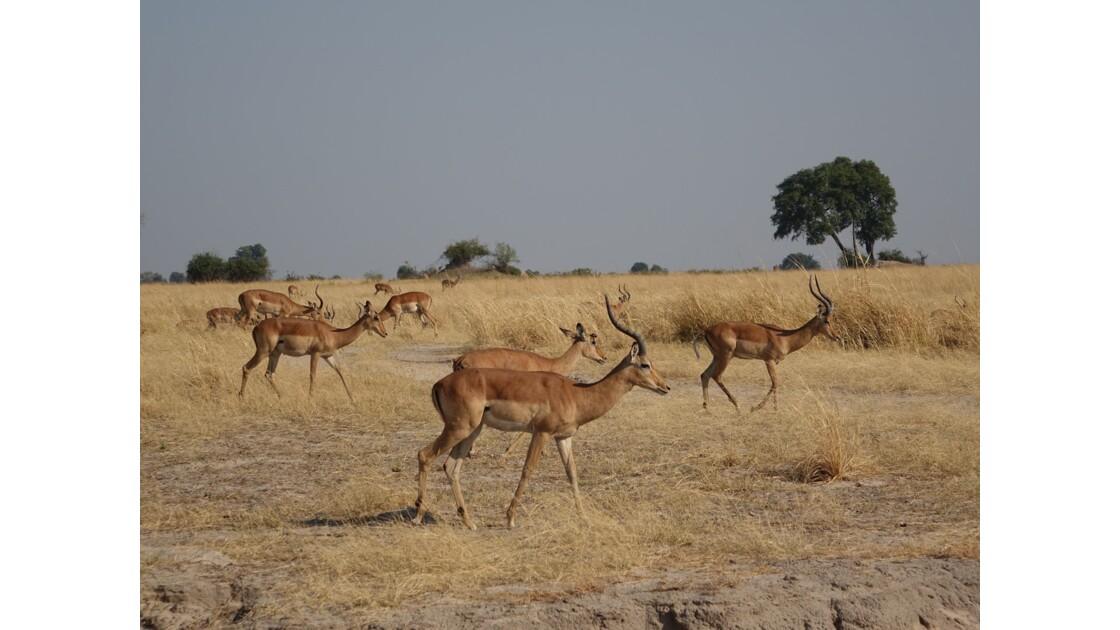 Botswana Chobe troupeau d'impalas 1