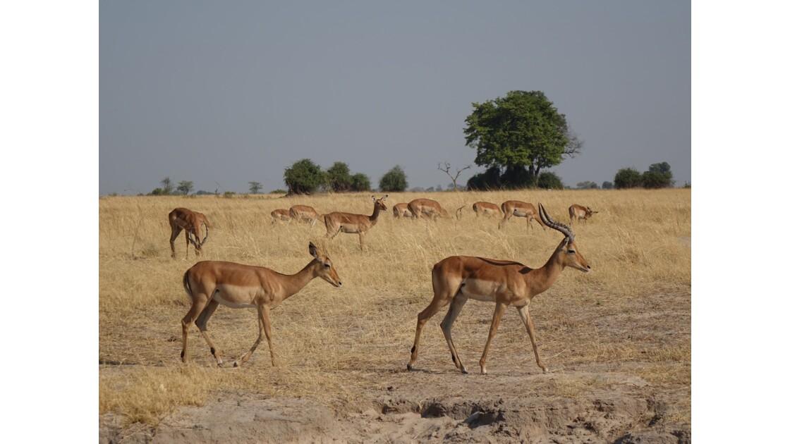 Botswana Chobe troupeau d'impalas 2