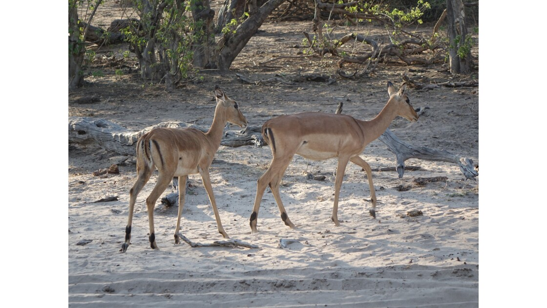 Botswana Chobe impalas
