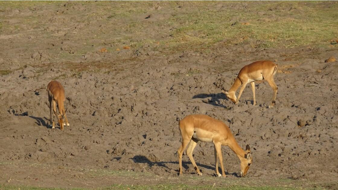Botswana Chobe impalas 2