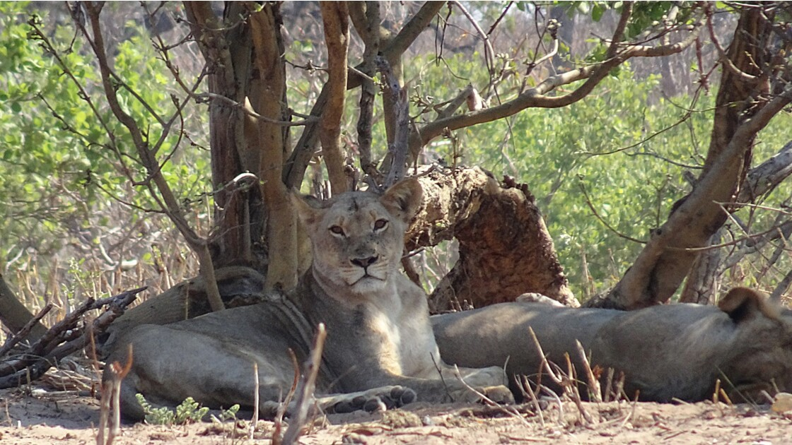Botswana Chobe la sieste des lions