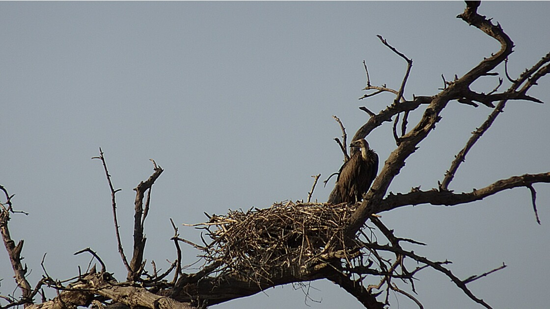 Botswana Chobe nid de vautour africain 1