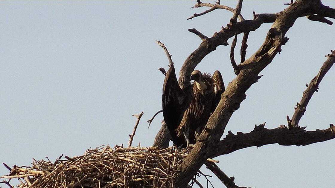 Botswana Chobe nid de vautour africain 2