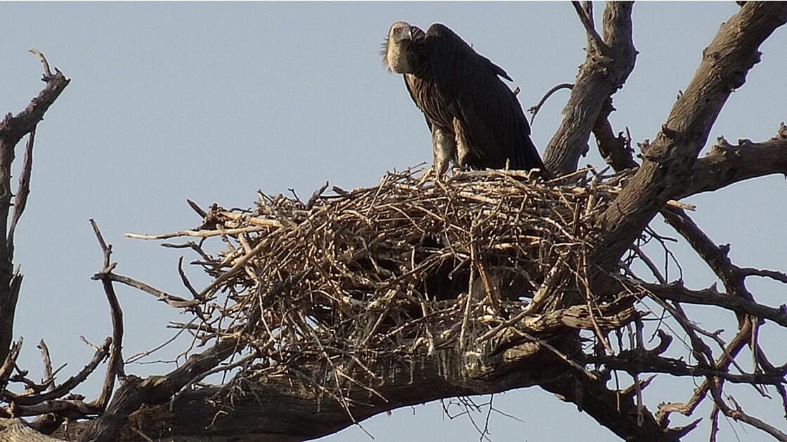 Botswana Chobe nid de vautour africain 3