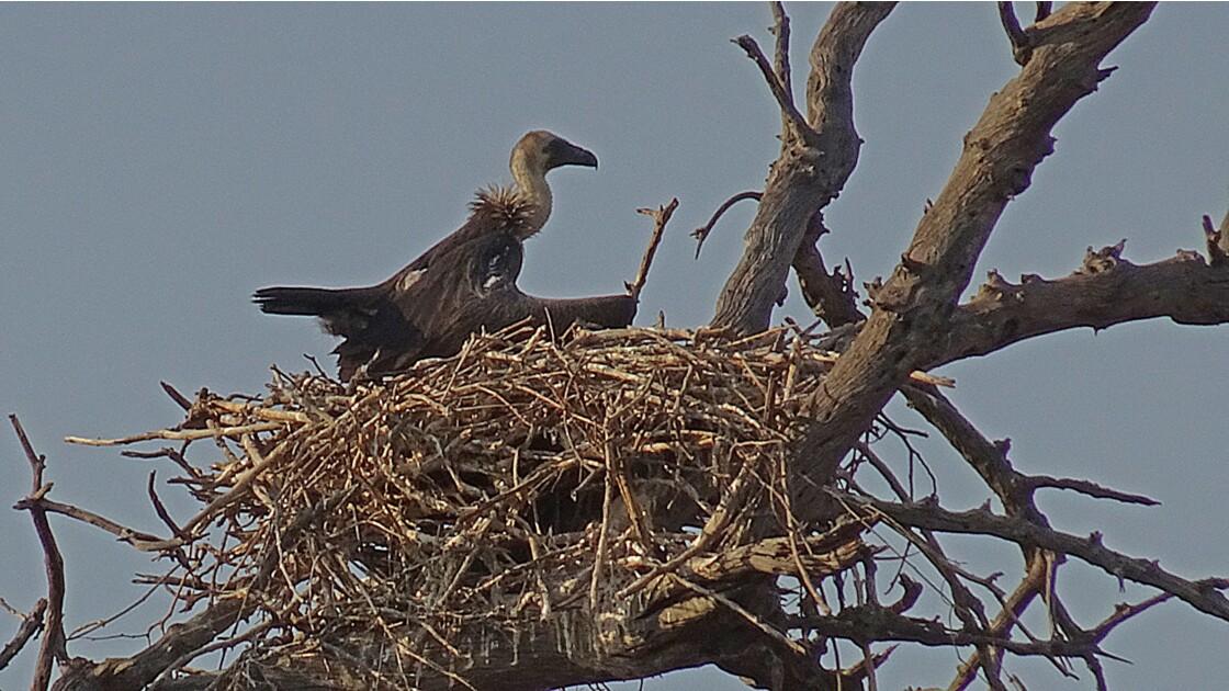 Botswana Chobe nid de vautour africain 4