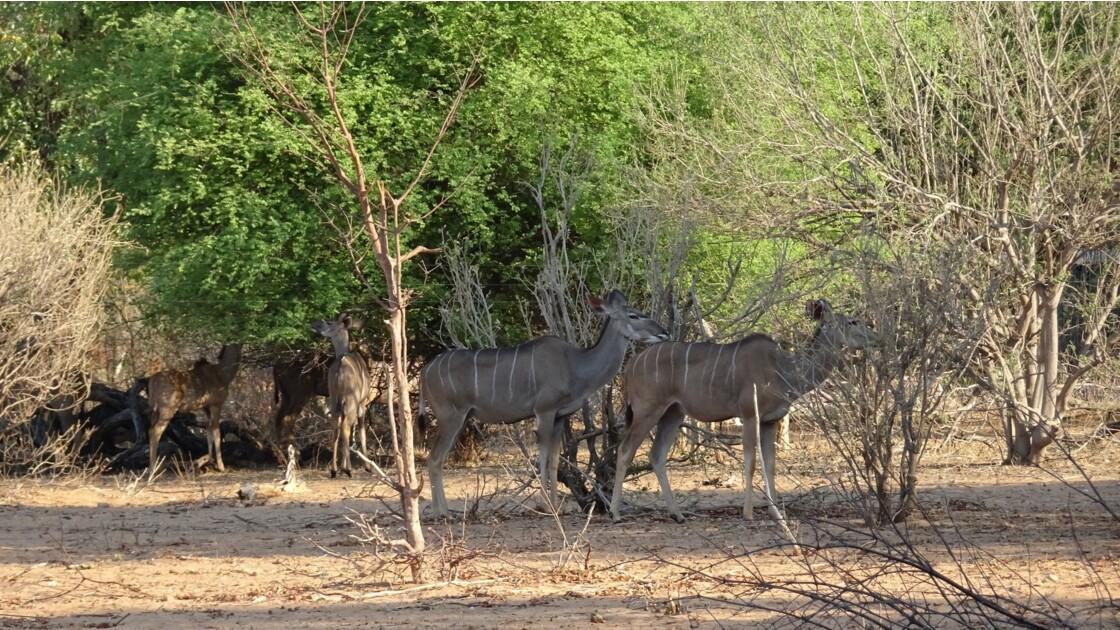Botswana Chobe Nyalas 1