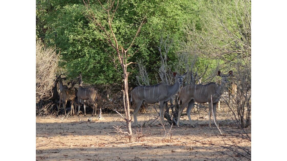 Botswana Chobe Nyalas 2