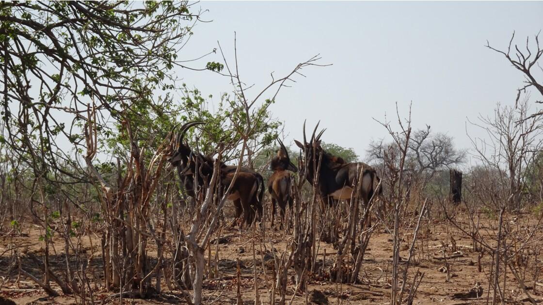 Botswana Chobe Troupeau d'Oryx