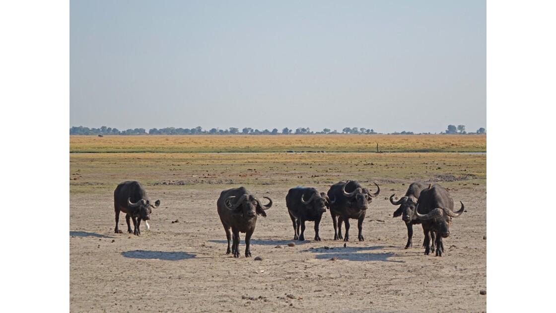 Botswana Les Buffles de Chobe 2