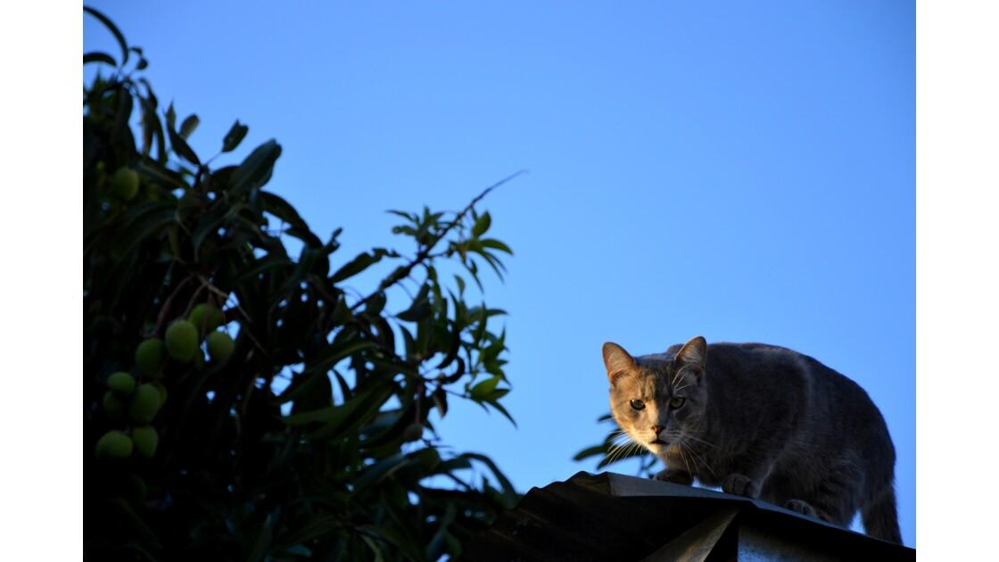 Chat à Alajuela