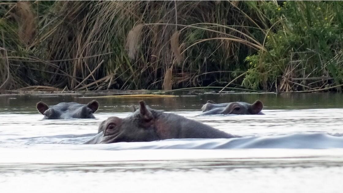 Botswana Okavango île Pépère l'oeil de l'Hippo 1