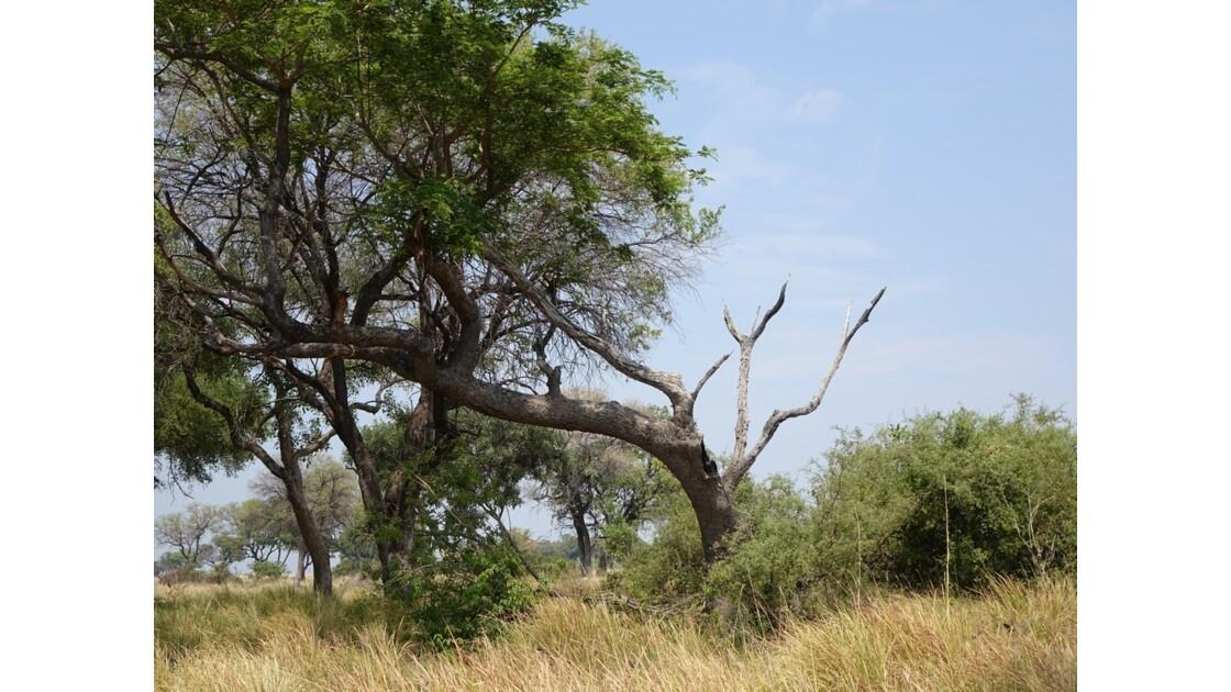 Botswana Okavango île Pépère après le passage des éléphants 1