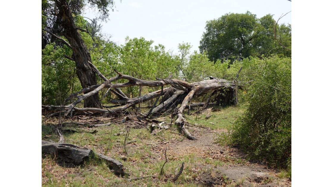 Botswana Okavango île Pépère après le passage des éléphants 2
