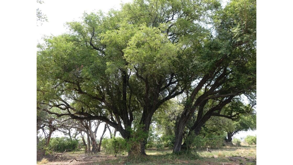 Botswana Okavango Jackalberry sur l'île Pépère 1