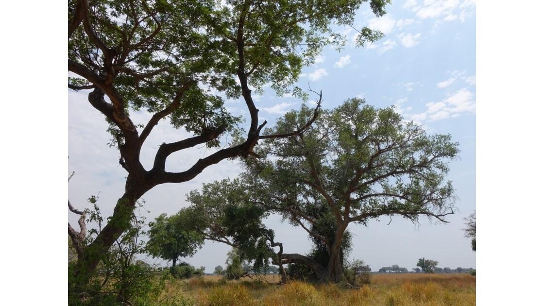 Botswana Okavango Jackalberry sur l'île Pépère 2