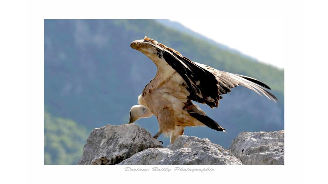 Vautours planant au dessus des Gorges du Verdon