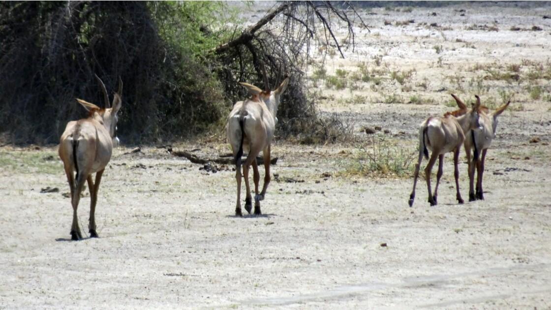 Namibie Antilopes Rouanne dans la Bande de Caprivi