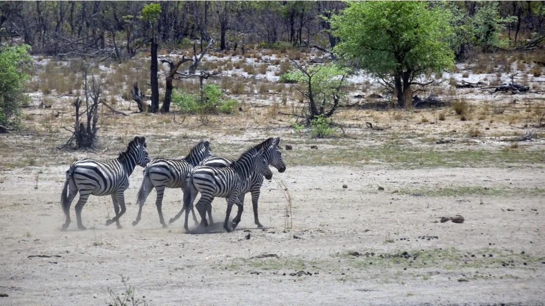 Namibie Zèbres de Burchell dans la Bande de Caprivi