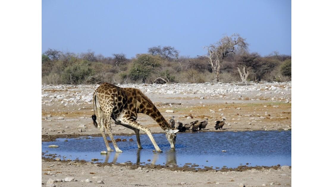 Namibie Etosha au point d'eau 2