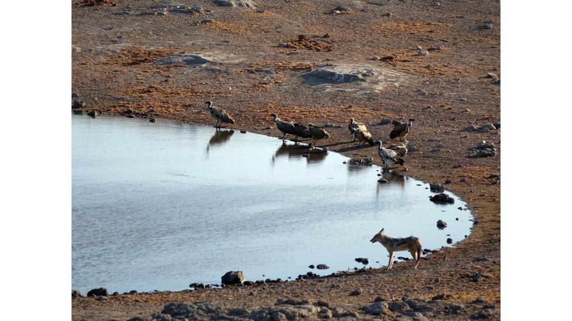 Namibie Etosha au point d'eau