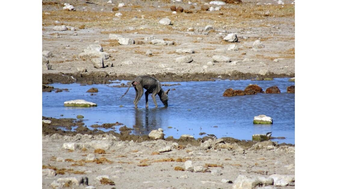 Namibie Etosha Chacal 2