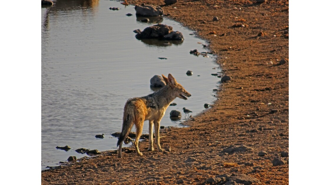 Namibie Etosha Chacal 3