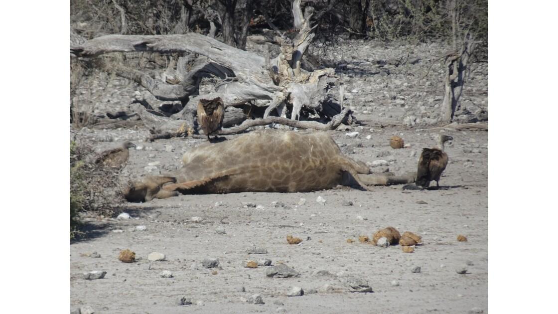 Namibie Etosha mort d'une girafe 1