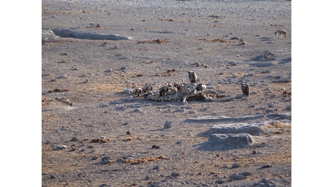 Namibie Etosha mort d'une girafe 2
