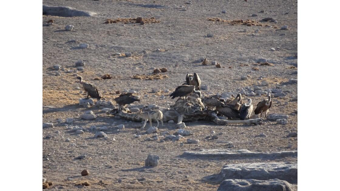 Namibie Etosha mort d'une girafe 3