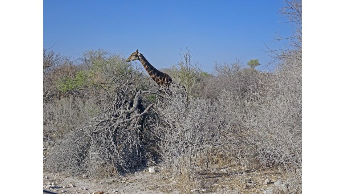 Namibie Etosha Girafe Baringo 2