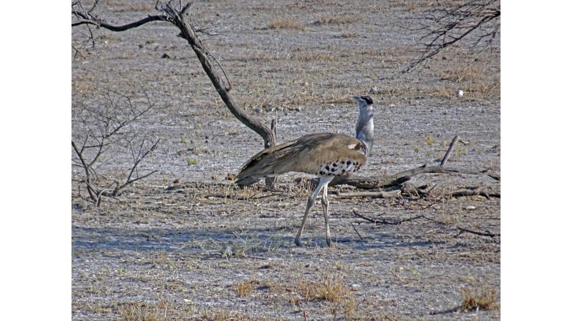 Namibie Etosha Héron