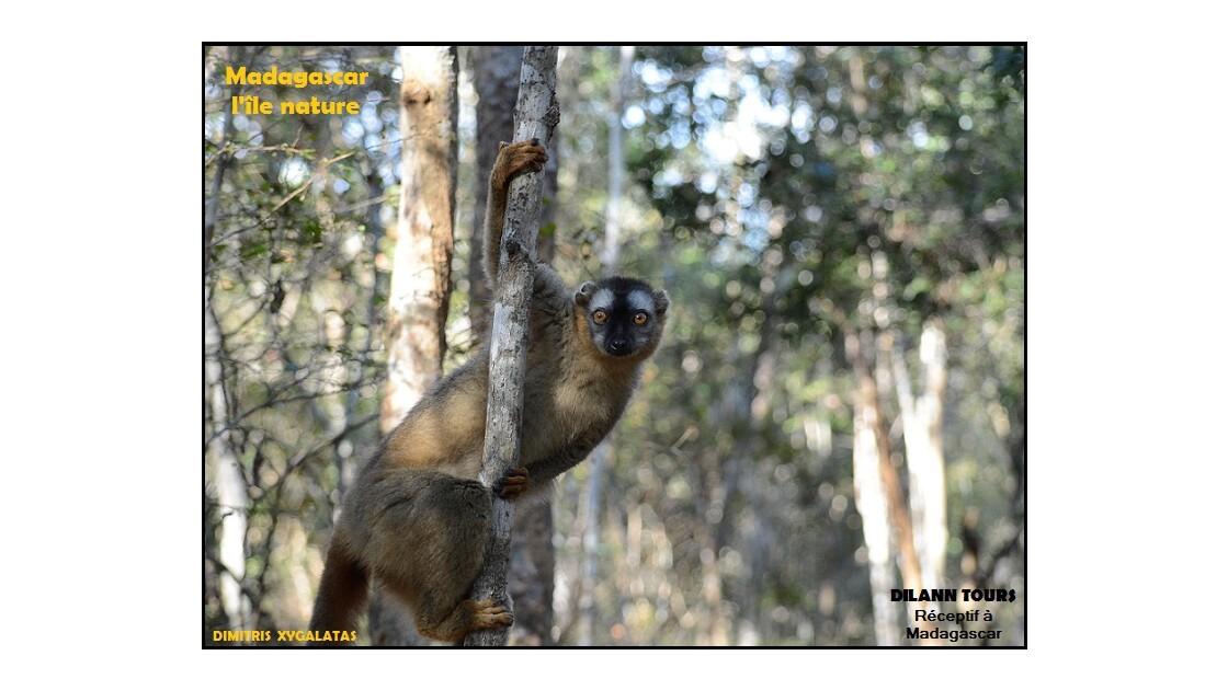 Lémurien de Madagascar - Madagascar lemur -