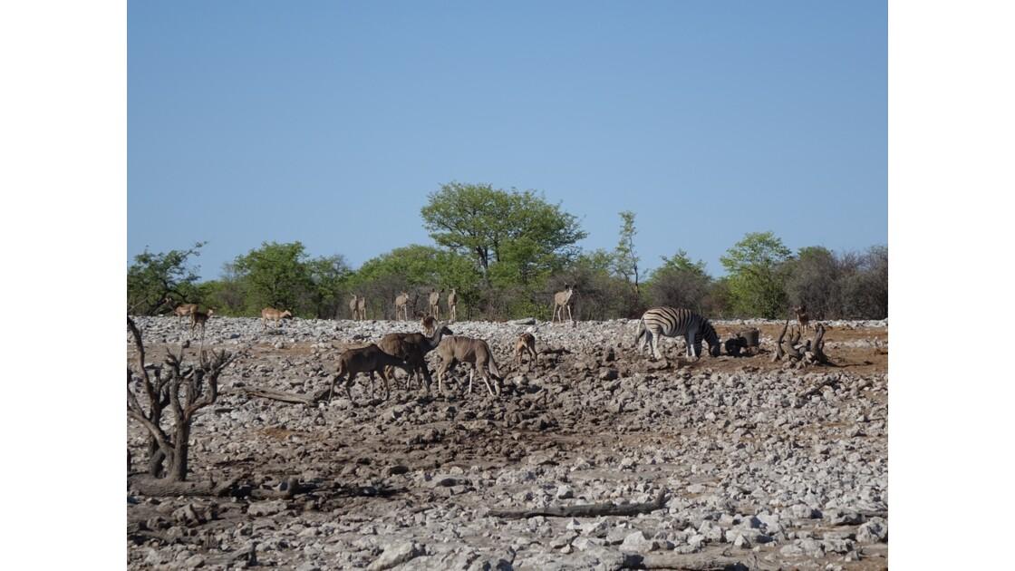 Namibie Etosha entre Namutoni et Okaukuejo autour du point d'eau 5