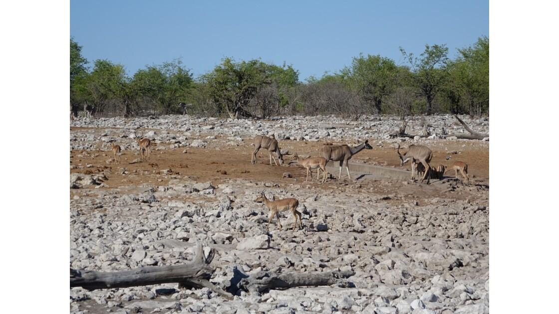 Namibie Etosha entre Namutoni et Okaukuejo autour du point d'eau 6