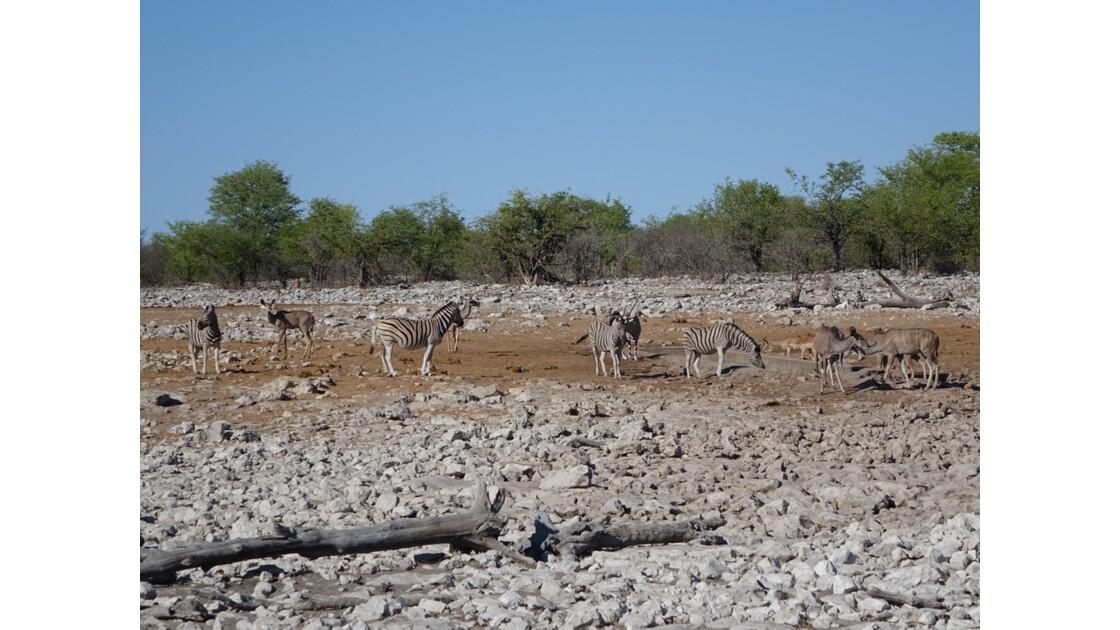 Namibie Etosha entre Namutoni et Okaukuejo autour du point d'eau 7